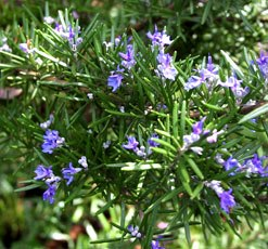 essential oil rosemary 2