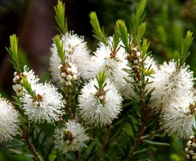 essential oil tea tree 2