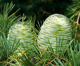 essential oil cedarwood himalayan 2