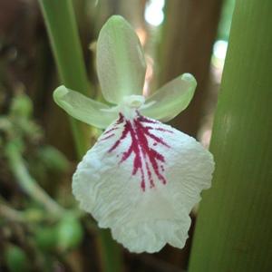 essential oil cardamom flower