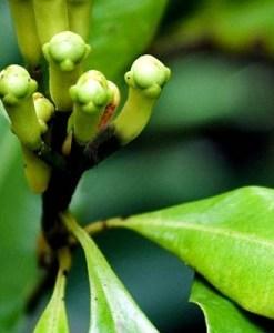 essential oil clove stem