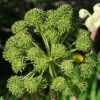 Essential Oil Angelica Root