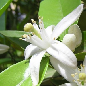 essential oil neroli 2