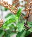 essential oil basil 2