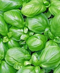 essential oil basil