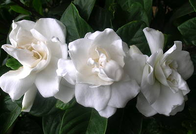 essential oil gardenia 2