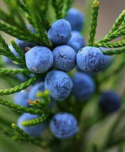 Essential Oil Juniper Berry