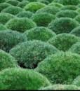 Essential oil_Pinus mugo 2