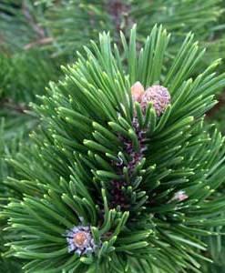 Essential Oil Pinus Mugo