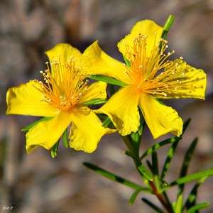 Essential Oil St. John's Wort