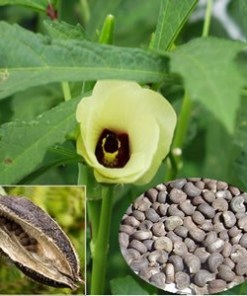 ambrette absolute oil flower