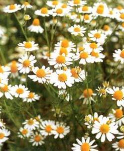 Essential Oil Chamomile German