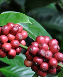 essential oil coffee 2