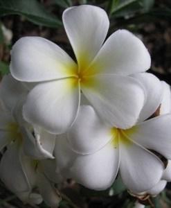 essential oil frangipani 2
