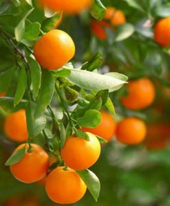 Essential Oil Mandarin 2