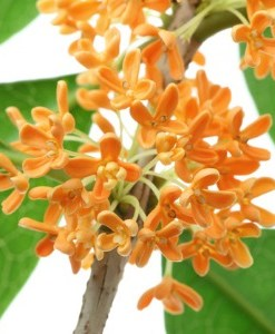 Osmanthus Absolute Oil 1