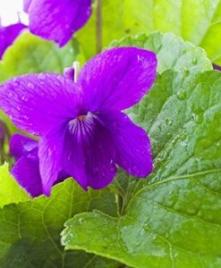 Violet Leaf Absolute Oil 2