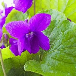 Violet Leaf Absolute Oil 2