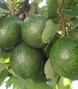 avocado oil_tree