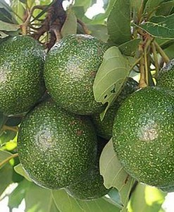 avocado oil tree