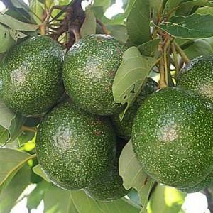 avocado oil tree