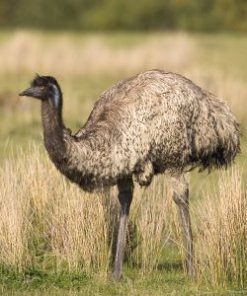 Emu Oil Bird