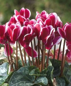 Essential oil Cyclamen 1