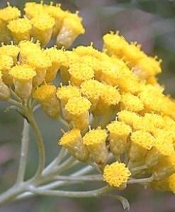 Essential oil Helichrysum 1
