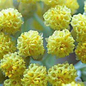 Essential oil Helichrysum 2