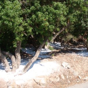 Essential oil Mastic tree