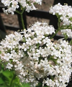Essential oil Valerian 1
