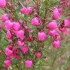 Boronia Absolute
