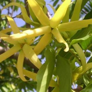 essential oil cananga 2