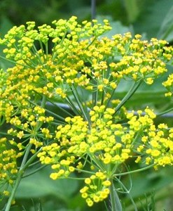 essential oil dill seed flower