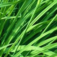 essential oil ginger grass