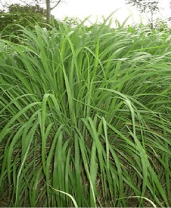 essential oil ginger grass plant