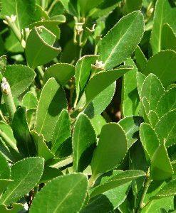 essential oil laurel leaf