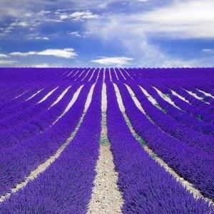 essential oil lavendin field