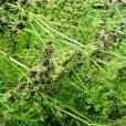 Essential Oil Parsley seeds