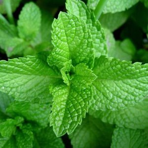 essential oil spearmint 2