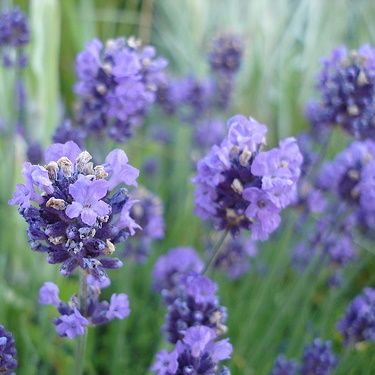 essential oil spike lavender