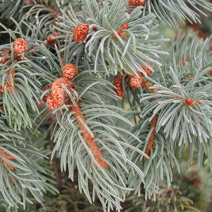 essential oil spruce