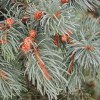 essential oil spruce