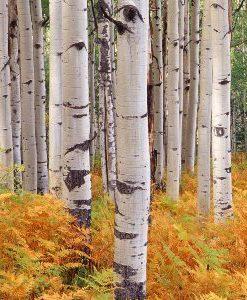 essential oil birch