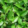 green tea absolute