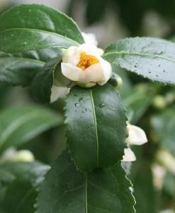 green tea absolute flower