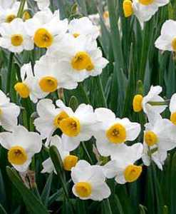 narcissus absolute 2