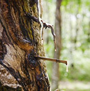 essential oil copaiba balsam tree tap