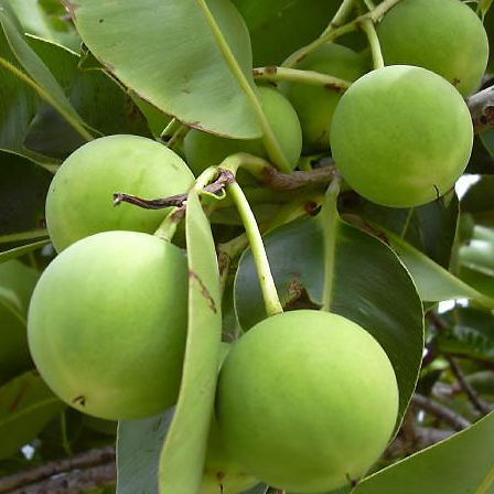 Tamanu Oil Fruit