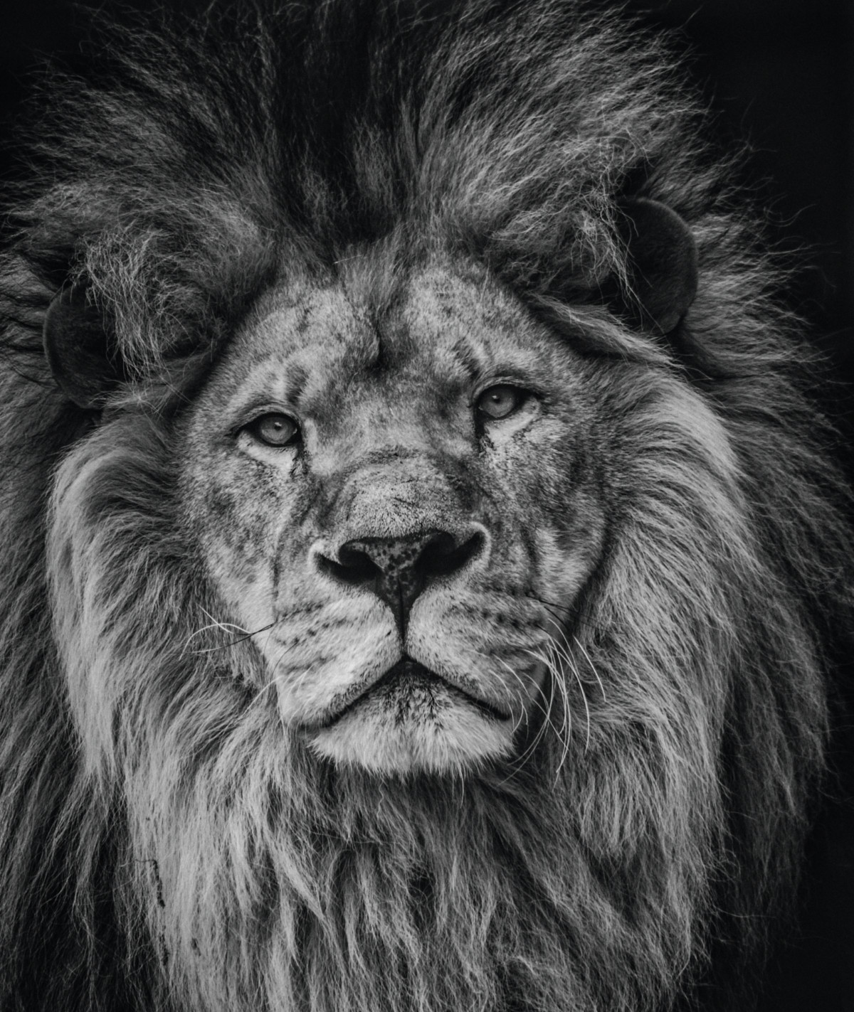 picture of a lion